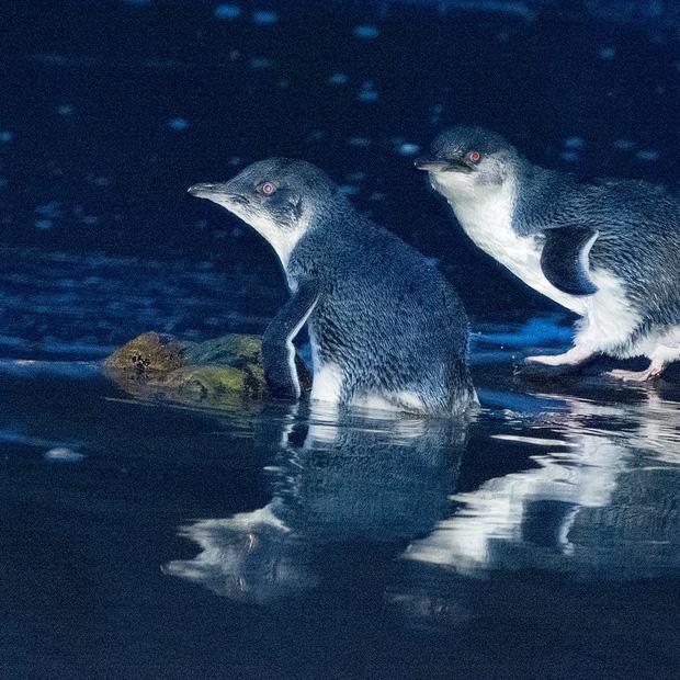 Hơn 6000 con chim cánh cụt bị quét sạch tại một hòn đảo vì sự xuất hiện của một con quỷ - Ảnh 5.