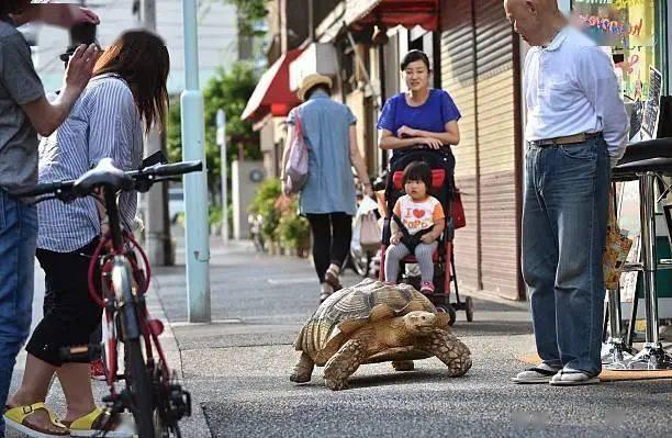 Ông lão người Nhật nuôi con rùa nặng 70kg, quãng đường 5 phút đi mất 3 tiếng: Sống chậm lại, cuộc đời quả thực đáng yêu hơn bạn nghĩ - Ảnh 5.