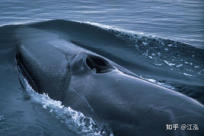 Tại sao lỗ mũi của cá voi lại nằm trên đỉnh đầu? - Ảnh 7.
