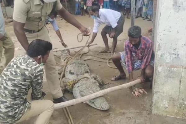 Con cá sấu dài hơn 3m xuất hiện trước cửa nhà, cả làng hô nhau đi bắt - Ảnh 2.