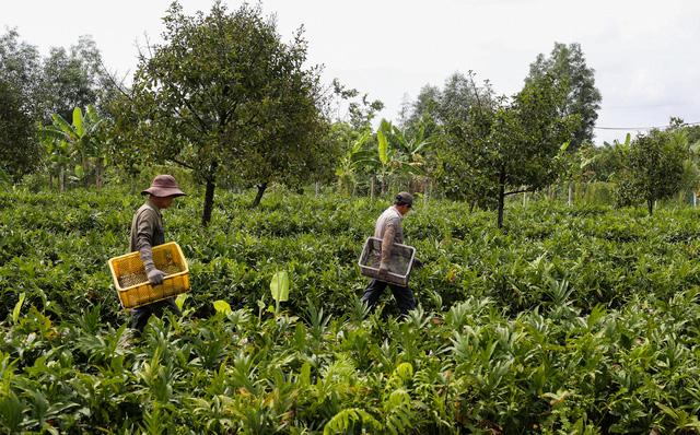 Xưa dùng để chống đói, nay trồng loại rau này không chỉ thoát nghèo mà còn kiếm tiền triệu mỗi ngày - Ảnh 1.