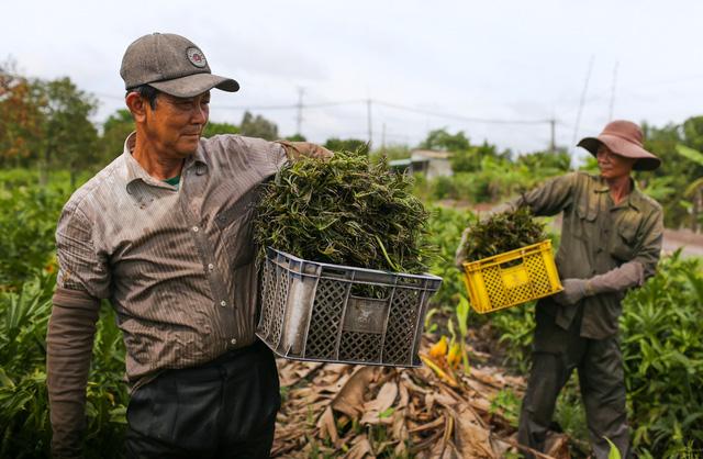 Xưa dùng để chống đói, nay trồng loại rau này không chỉ thoát nghèo mà còn kiếm tiền triệu mỗi ngày - Ảnh 2.