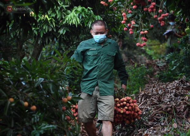 Ảnh: Công an huyện Lục Ngạn, Bắc Giang chung tay thu hoạch vải cùng bà con ngay từ đầu vụ - Ảnh 14.