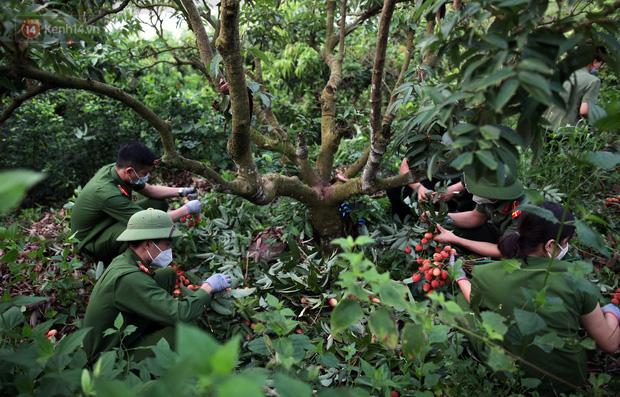 Ảnh: Công an huyện Lục Ngạn, Bắc Giang chung tay thu hoạch vải cùng bà con ngay từ đầu vụ - Ảnh 4.