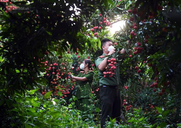 Ảnh: Công an huyện Lục Ngạn, Bắc Giang chung tay thu hoạch vải cùng bà con ngay từ đầu vụ - Ảnh 6.