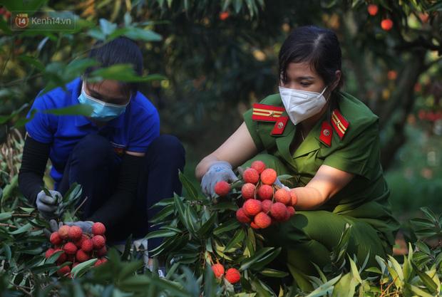 Ảnh: Công an huyện Lục Ngạn, Bắc Giang chung tay thu hoạch vải cùng bà con ngay từ đầu vụ - Ảnh 7.