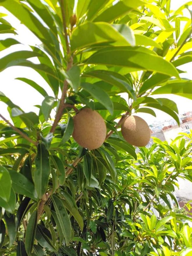 Sân thượng bé tẹo nhưng cô nàng vẫn biến được thành vườn cây trái có cả ổi, đu đủ, hồng xiêm, xoài..., ai nhìn cũng mê mẩn - ảnh 6