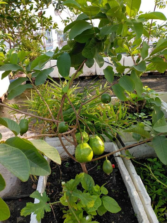Sân thượng bé tẹo nhưng cô nàng vẫn biến được thành vườn cây trái có cả ổi, đu đủ, hồng xiêm, xoài..., ai nhìn cũng mê mẩn - ảnh 7