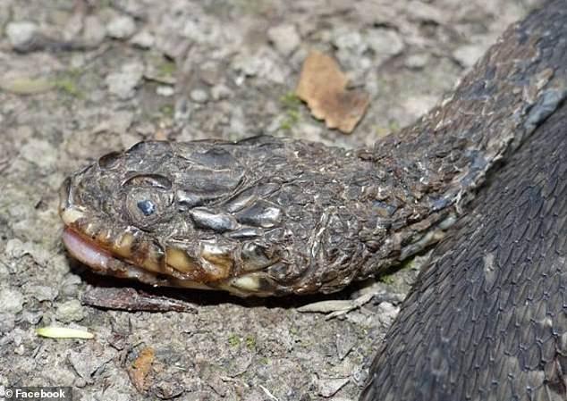Hàng triệu con rắn đang đối diện với nguy cơ mù loà do căn bệnh lạ biến rắn thành xác ướp - Ảnh 2.
