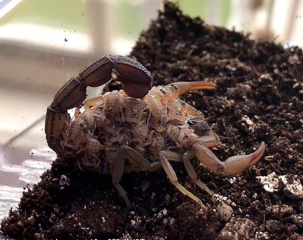 Hình ảnh tuyệt đẹp bọ cạp nâu chuyển màu xanh tím dưới tia UV - Ảnh 1.