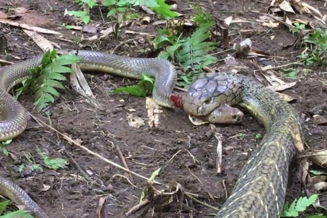 Hổ mang chúa giết chết và nuốt chửng rắn săn chuột trong tích tắc - Ảnh 2.