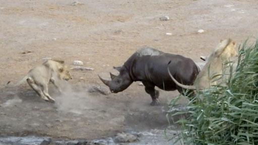 Clip 3 con sư tử quây lại tấn công tê giác mang thai sa lầy, kết quả bất ngờ - Ảnh 3.