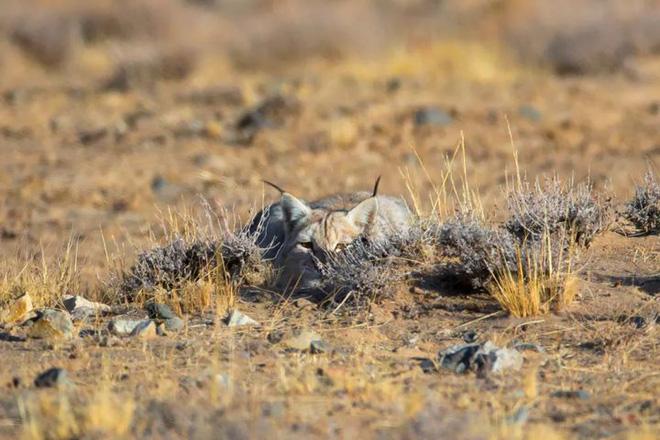 Có phải vì ăn thịt thỏ quá nhiều nên linh miêu mới có cái đuôi ngắn hay không? - Ảnh 9.