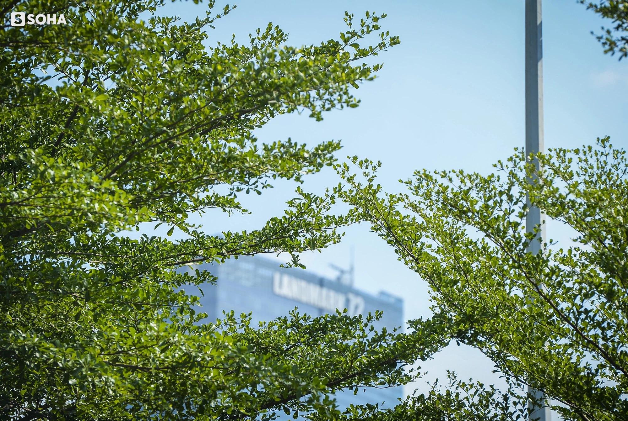 Cận cảnh hàng cây bàng lá nhỏ, chà là trong vụ Tổng Giám đốc công ty cây xanh Hà Nội bị bắt - Ảnh 10.