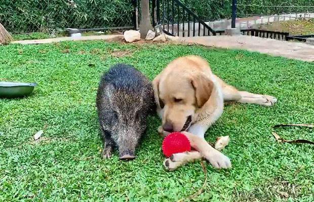 Ra khỏi nhà vấp phải chú lợn rừng tí hon, gái xinh mang về chăm thế là có ngay con pet nghịch như quỷ sứ - Ảnh 8.