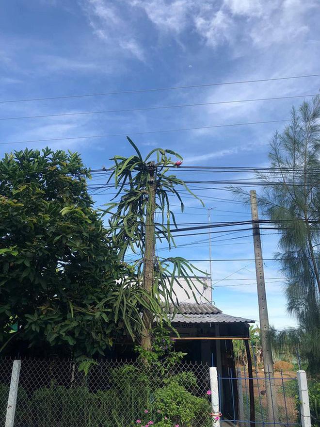 Cây thanh long độc ác nhất Việt Nam: Ra quả sai trĩu nhưng nhất quyết không cho người ta hái là sao đây? - Ảnh 5.