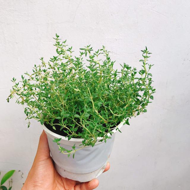 6 loài cây giúp bạn đuổi kiến ba khoang ra khỏi nhà nhanh chóng, hiệu quả, không cần dùng đến hóa chất - Ảnh 4.