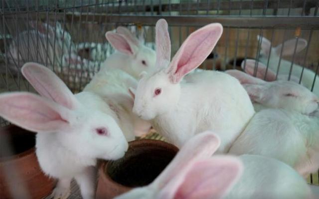 Philippines ngày càng tiêu thụ nhiều thịt thỏ - Ảnh 1.
