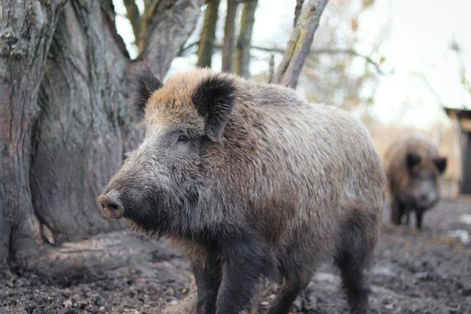 Thấy con non mắc bẫy, lợn rừng mẹ làm ra hành động khiến các nhà nghiên cứu cũng choáng váng - Ảnh 1.
