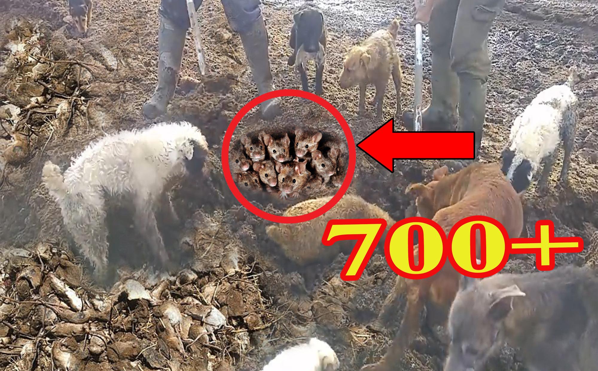 Người nông dân mang theo 'biệt đội chó' ra cánh đồng, kết quả hơn 700 con chuột bị tiêu diệt!