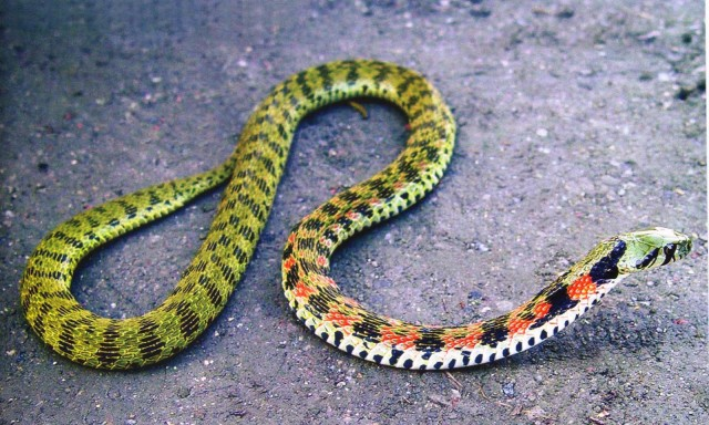 Vụ bé trai 4 tuổi bị rắn cắn ở Quảng Ngãi: Đây là loài rắn còn đáng sợ hơn hổ mang chúa - Ảnh 1.