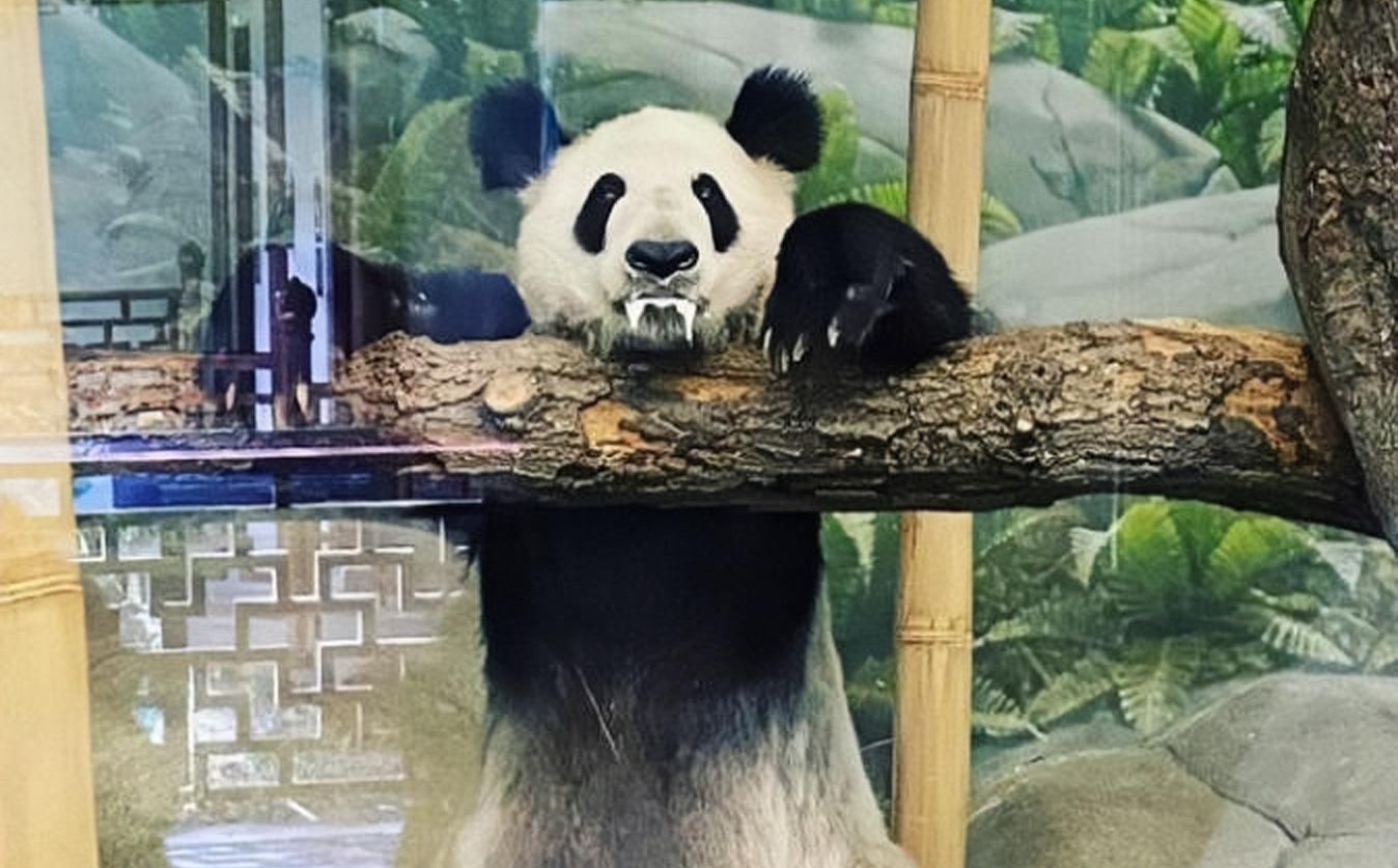 """Cặp """"quốc bảo"""" TQ đến vườn thú Mỹ làm ngôi sao: 18 năm sau, bức ảnh du khách chụp được khiến netizen không tin vào mắt mình!"""