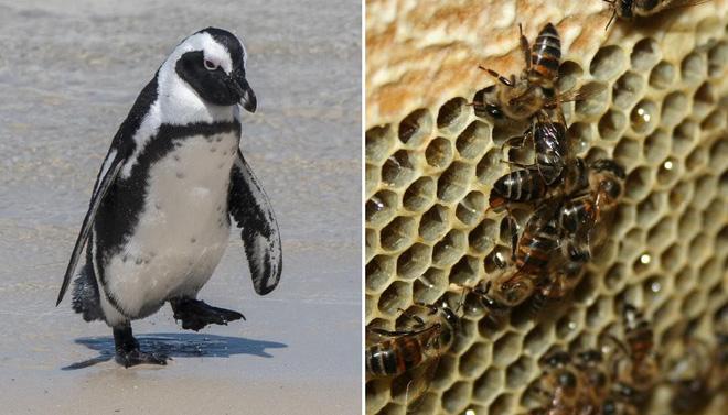 Chọc phải bầy ong mật, 63 con chim cánh cụt bị đốt chết - Ảnh 1.