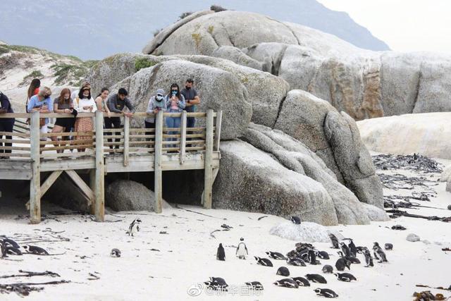 Chọc phải bầy ong mật, 63 con chim cánh cụt bị đốt chết - Ảnh 2.