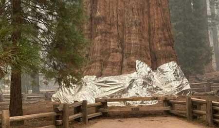 Cây khổng lồ nhất hành tinh đang bị đe dọa bởi nạn cháy rừng - Ảnh 1.