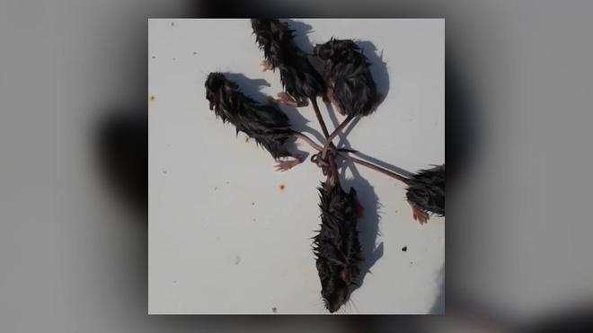 5 con chuột thắt đuôi vào nhau tạo thành tượng vua chuột hiếm gặp - Ảnh 1.