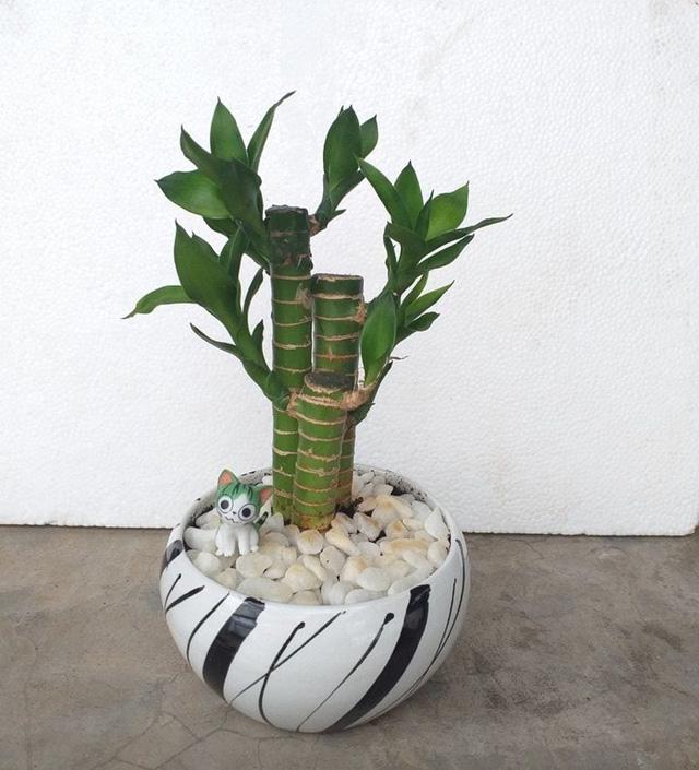 5 loại cây phong thủy hút tài vận vào nhà như lũ, giá chỉ từ 35K lại không cần chăm sóc nhiều - Ảnh 1.
