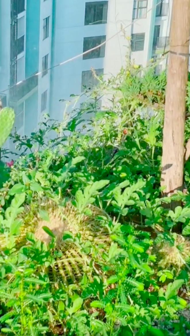 Về quê tránh dịch 1,5 tháng, gia chủ tá hoả khi quay lại thấy vườn penthouse mọc đầy dưa hấu, nghe lý do mới thấy cực nể - Ảnh 5.