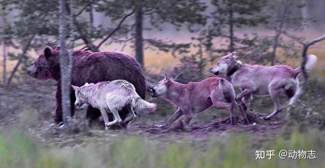 Các nhà khoa học lần đầu ghi nhận cảnh tượng chó sói dàn cảnh để bắt gấu nâu - Ảnh 1.