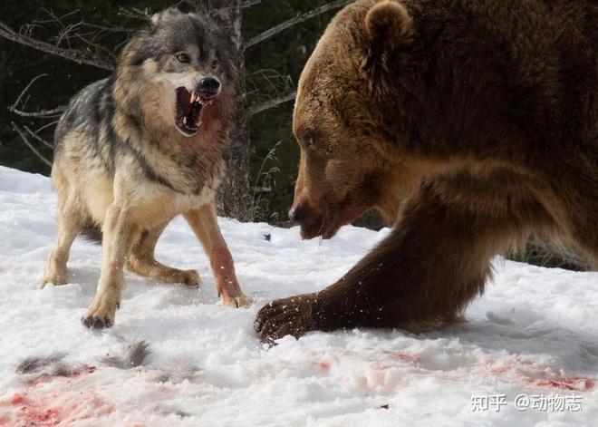 Các nhà khoa học lần đầu ghi nhận cảnh tượng chó sói dàn cảnh để bắt gấu nâu - Ảnh 5.