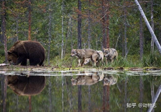 Các nhà khoa học lần đầu ghi nhận cảnh tượng chó sói dàn cảnh để bắt gấu nâu - Ảnh 9.