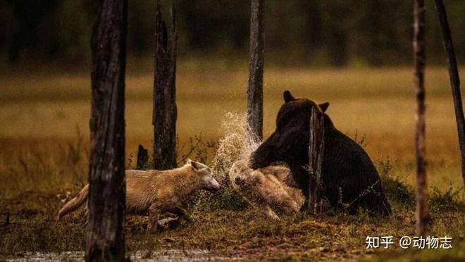 Các nhà khoa học lần đầu ghi nhận cảnh tượng chó sói dàn cảnh để bắt gấu nâu - Ảnh 10.