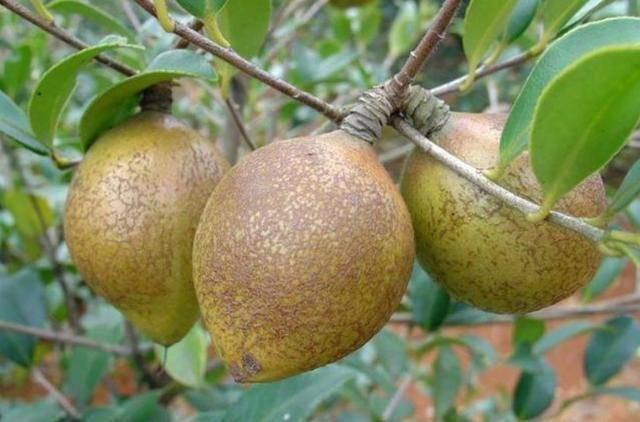 Loại cây mọc đầy ở Việt Nam, có hạt nhìn như phân thỏ, người Trung Quốc nhặt lấy ép ra dầu bán tiền triệu - Ảnh 2.