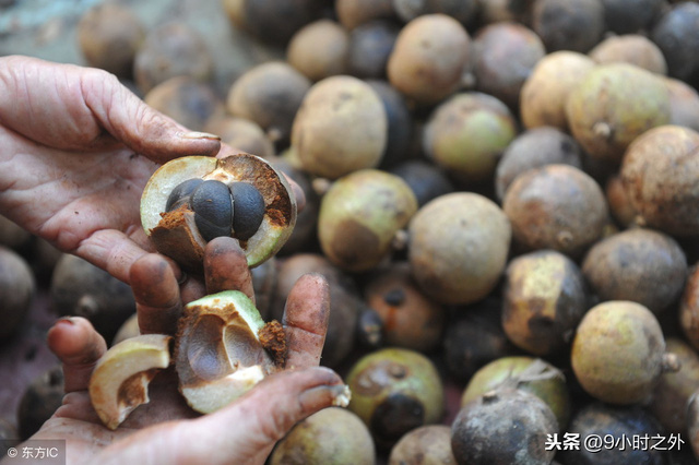 Loại cây mọc đầy ở Việt Nam, có hạt nhìn như phân thỏ, người Trung Quốc nhặt lấy ép ra dầu bán tiền triệu - Ảnh 3.