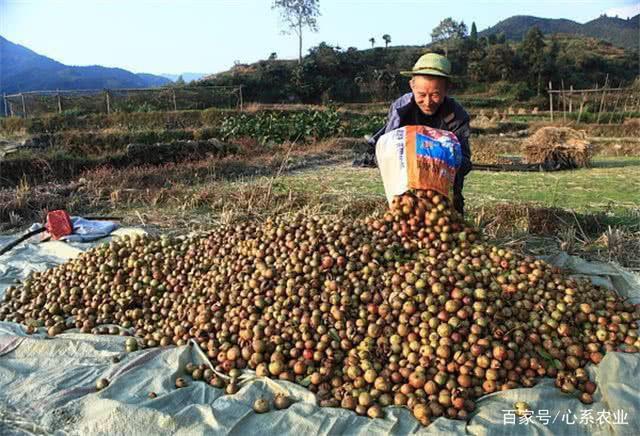 Loại cây mọc đầy ở Việt Nam, có hạt nhìn như phân thỏ, người Trung Quốc nhặt lấy ép ra dầu bán tiền triệu - Ảnh 4.