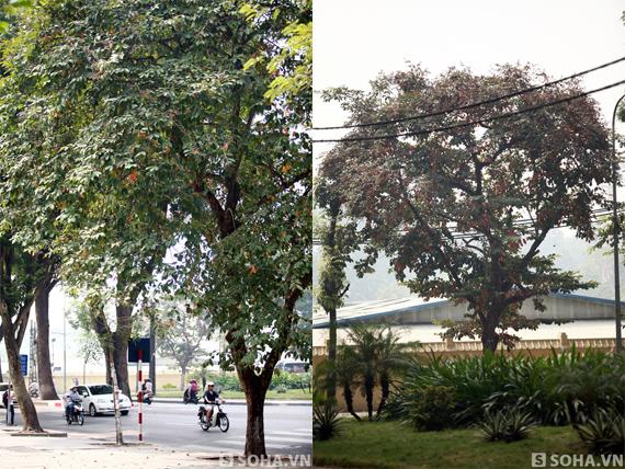 Trong khi đó, những cây bằng lăng khác xung quanh phố Hoàng Diệu không hề xảy ra việc tương tự.