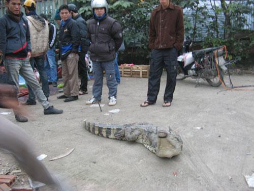 Một con sấu chuẩn bị lên thớt