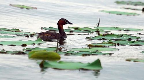 Những ngày cuối mùa xuân hoặc đầu mùa thu là thời gian le le bay nhiều về Hồ Tây. Năm 2011, số lượng bay về Hồ Tây kiếm ăn khoảng 100 con, nhưng năm nay chỉ còn khoảng 10 con le le.