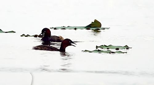 Mất dần của khoảng không gian xanh quanh Hồ Tây đã khiến cho sự xuất hiện của loài chim le le ở Hồ Tây ngày càng thưa thớt.
