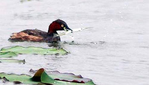 Thức ăn ưa thích của chim le le thường là cá kim, một loài cá độc đáo có cái miệng dài, nhọn như kim. Để nuốt được mồi, le le phải bẻ gẫy cái kim này bằng mỏ. Ảnh: Cao Mạnh Tuấn.