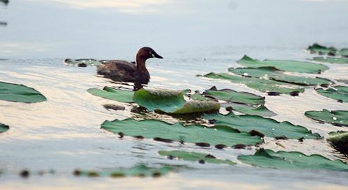 """Khi không săn mồi, le le mơ màng trôi nổi trên mặt nước hoặc bay, nhảy với những tiếng kêu """"chích, chích""""."""