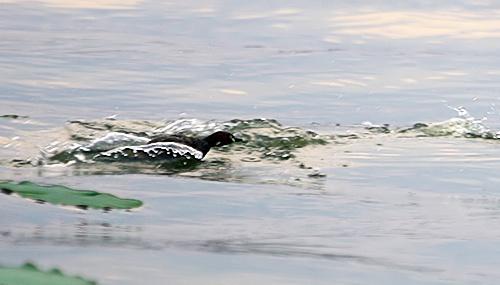 Mỗi khi bắt mồi le le lao nhanh như cắt trên mặt nước.