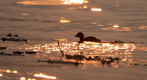 Hồ Tây hiện nay không còn là nơi lý tưởng cho chim le le sinh sống khi có quá nhiều hành động xâm hại.
