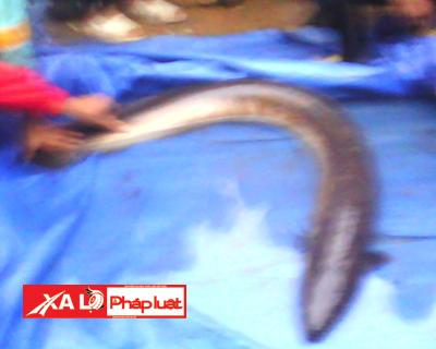 Con cá chạch nặng hơn 15kg do người xóm Chiềng bắt được (Hình chụp từ điện thoại, do người dân cung cấp)
