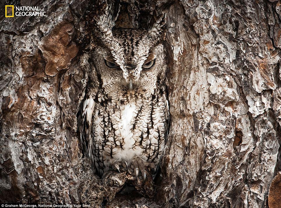 Ngụy trang: kêu lên Owl Đông, bảo vệ nestd của nó