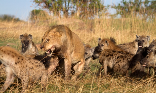 Đàn linh cẩu tấn công một con sư tử đơn độc trong vườn quốc gia Lamai Serengeti, Tanzania.